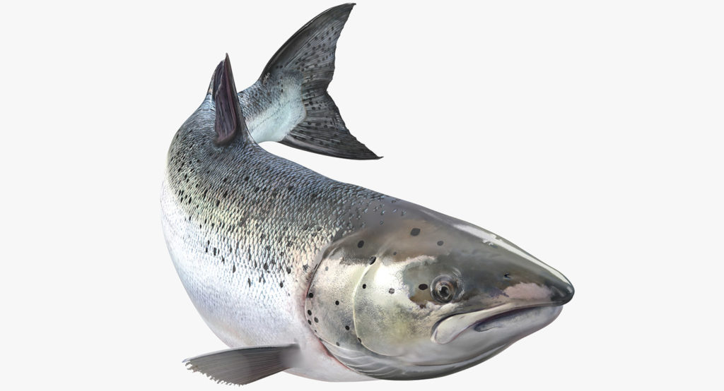 Salmon Fish In Tamil  U2013 Indian Salmon Fish Name With Pictures